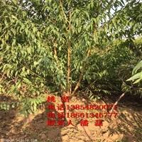 大久保桃树苗、大久保桃树树苗新品种