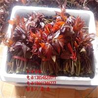 红油香椿树苗、红油香椿树苗种植技术