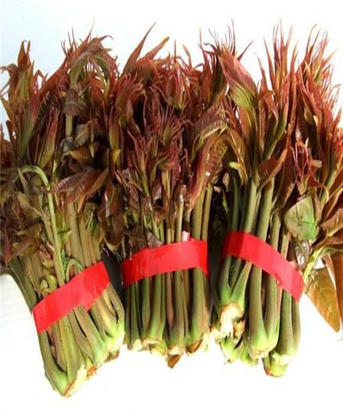 红油香椿苗、红油香椿树苗、红油香椿树苗新品种