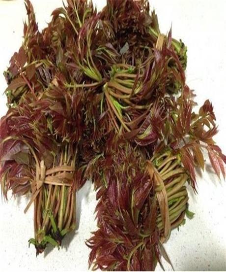 香椿树苗大量现货出售