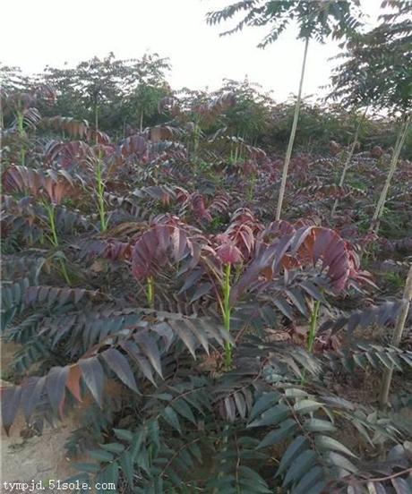 2公分香椿树苗大量现苗供应