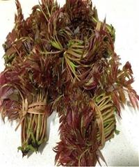 哪里卖香椿树苗、红油香椿树苗哪里卖