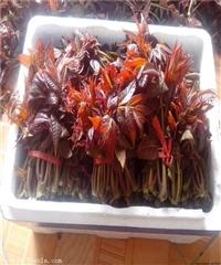 矮化香椿苗 矮化香椿树苗新品种
