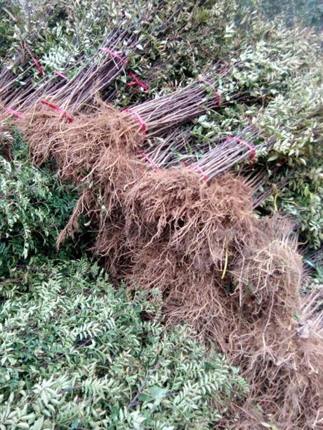 花椒苗种植基地
