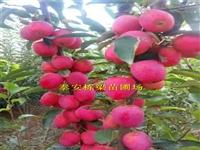 金帅苹果苗批发种植步骤