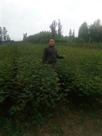 红桥花椒苗基地泰安花椒苗基地
