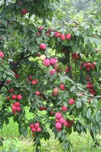 李子品种,李子树苗,李子新品种,新品种李子苗,超级红宝石李子