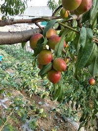 出售桃树苗批发产地  优质桃树苗供应厂家