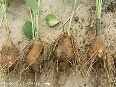 亳州药材种子发展前景