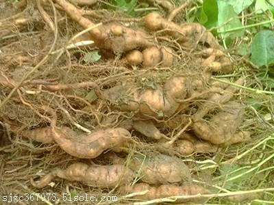 亳州药材种苗种植基地