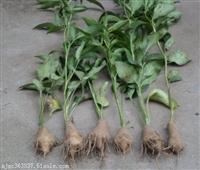 白术种苗种植技术及亩收益