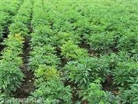 白芷种苗如何种植