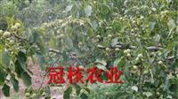 一亩地能种多少棵核桃树核桃树适合哪个地方