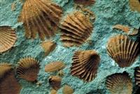 贝壳化石上门收购鉴定值多少钱