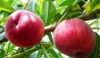 优质早熟桃,早熟桃新品种,早熟桃树苗,新品种早熟桃