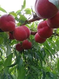 早熟桃新品种,优质早熟桃,特早蜜脆桃519
