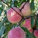 臨沂桃苗、晚熟桃樹苗、玉紅巨雪桃樹苗