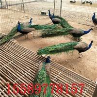 长尾巴的孔雀多少钱一只 什么地方有出售孔雀的 孔雀养殖场