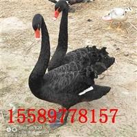 养殖黑天鹅赚钱吗 什么地方有商品黑天鹅出售 黑天鹅养殖技术