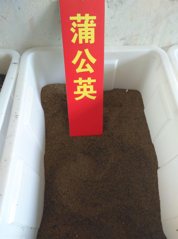 蒲公英种子种植基地  蒲公英一年收几次
