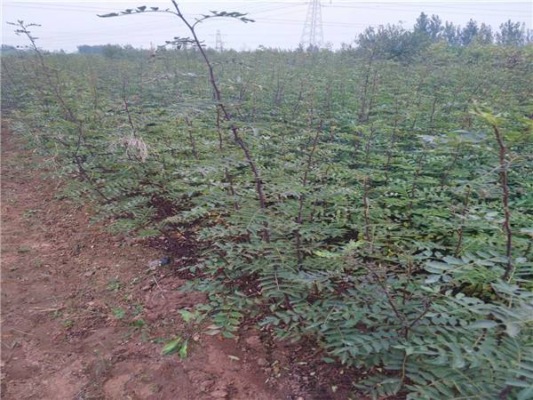 云南花椒苗生产厂家 大青稞花椒苗多少钱