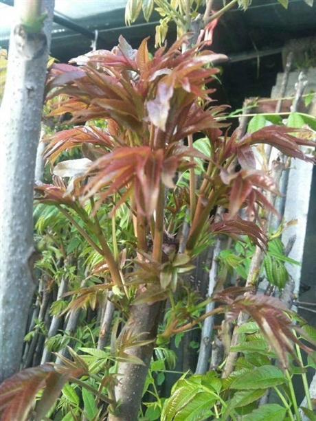 红油香椿苗大型种植基地