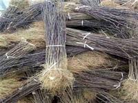 核桃籽播苗种植基地薄皮核桃苗产地供应