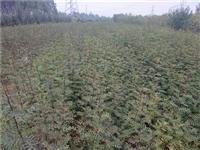 内蒙古哪里有核桃树苗怎么卖