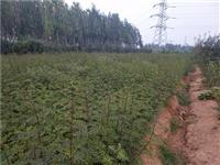 占地核桃苗哪里有核桃籽播苗种类繁多