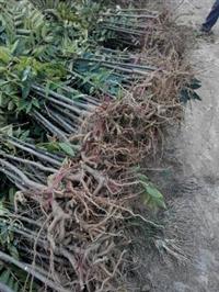 小香椿苗自产自销  香椿苗泰山红油香椿苗