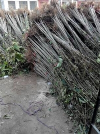 红香椿苗栽培技术  香椿苗泰山红油香椿苗