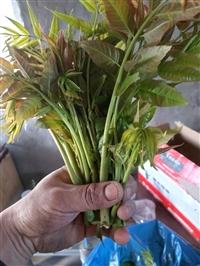 山东香椿苗批发  泰安香椿树苗价格