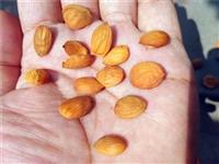 桃树种子批发