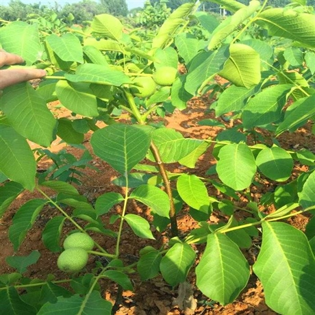 核桃苗怎么种植培育