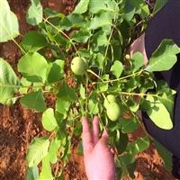 1米以上核桃树苗多少钱一棵