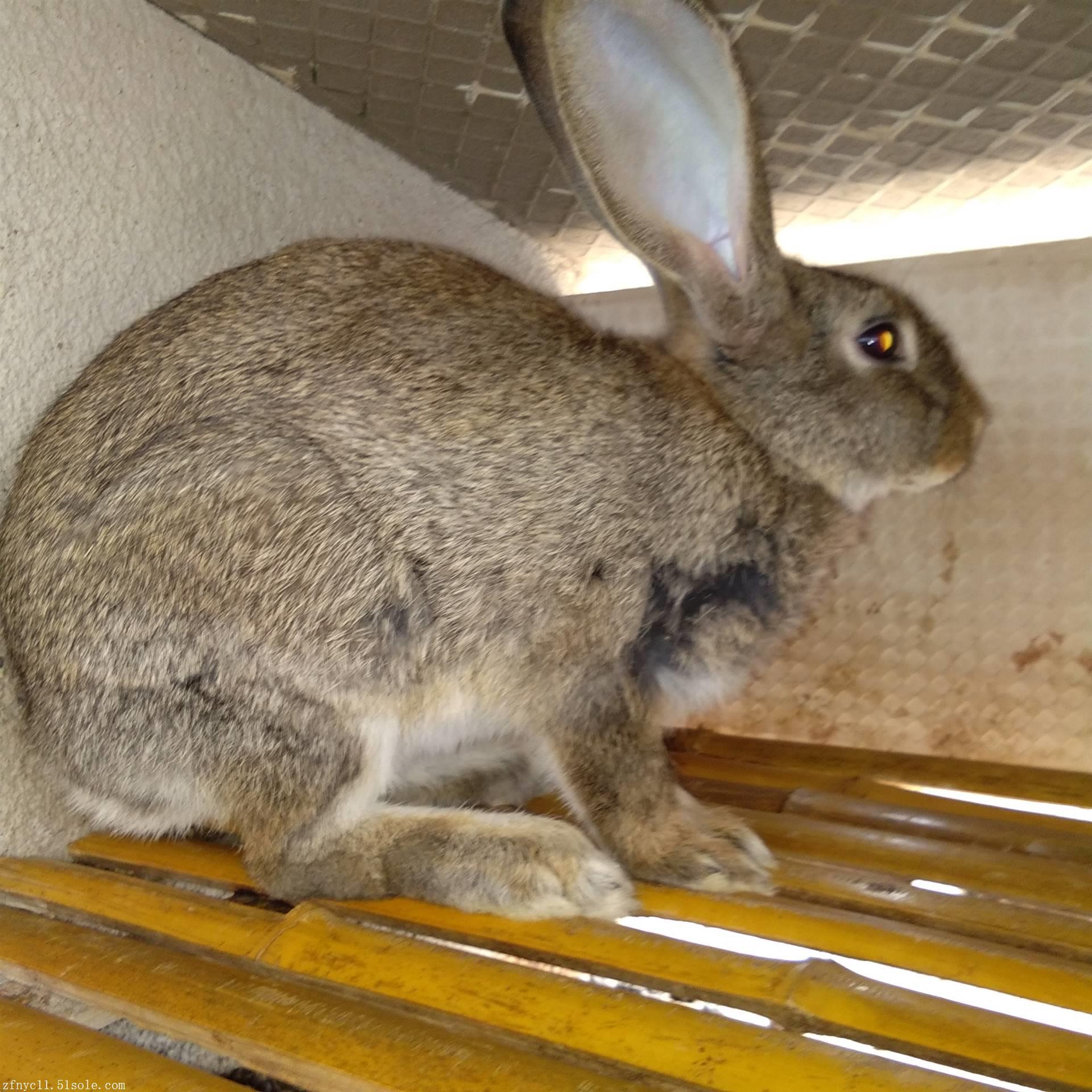 杂交野兔种兔_哪里有比利时种兔 杂交野兔价格 肉兔养殖场直销