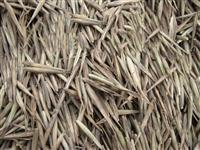 毛竹种子种植几年长大