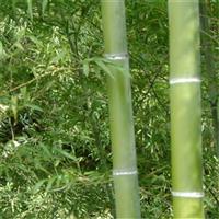 毛竹种子出售