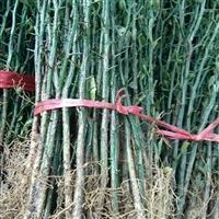 板栗苗哪里有卖的2年板栗苗价格板栗苗什么时间种植