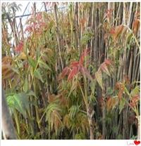 山东香椿苗优质供应商