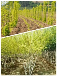 叢生金葉復葉槭