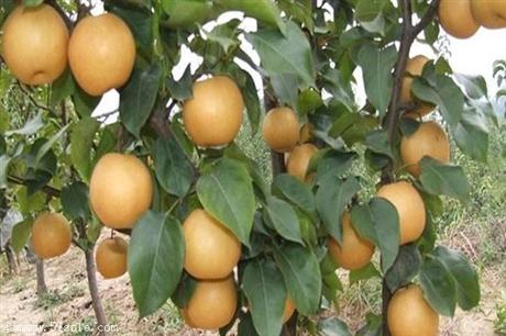 邢台市梨树苗价格