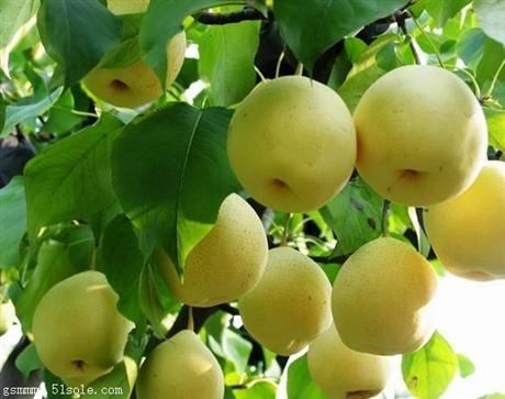 唐山市梨树苗价格