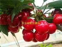 吉塞拉矮化樱桃树苗规格齐全