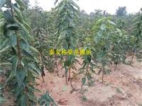 吉塞拉矮化樱桃小苗保证成活