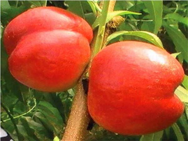 黄金蟠桃树种苗市场效益