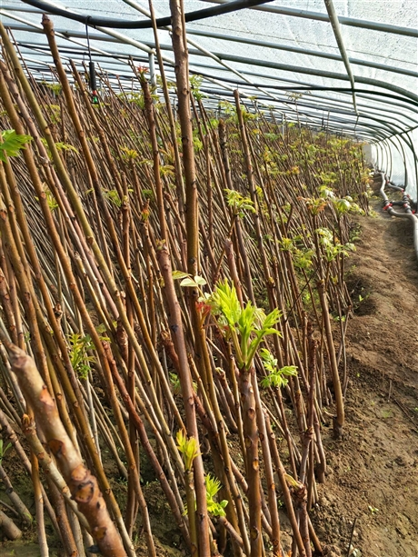 三门峡香椿苗大量供应