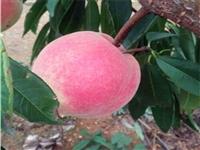 春雪桃树种苗市场前景