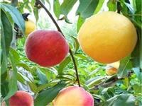 嫁接霞脆桃苗品种齐全 风味皇后桃树苗价格