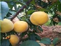 川中岛桃树种苗试种推广